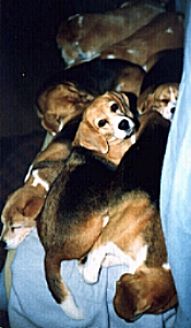 Beagles on Couch